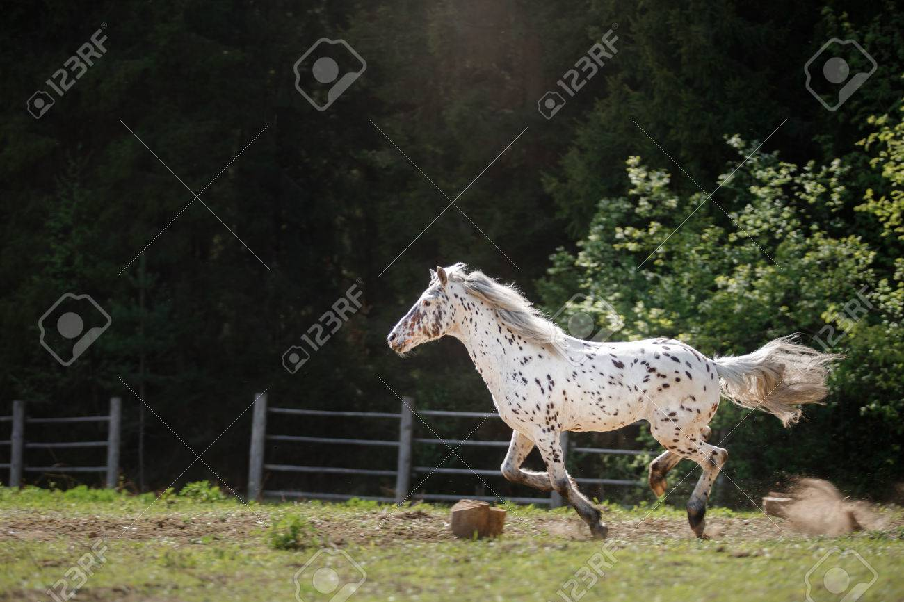 Knabstrup Appaloosa Horse Trotting In A Meadow Appaloosa Horse Stock Photo Picture And Royalty Free Image Image 57436626