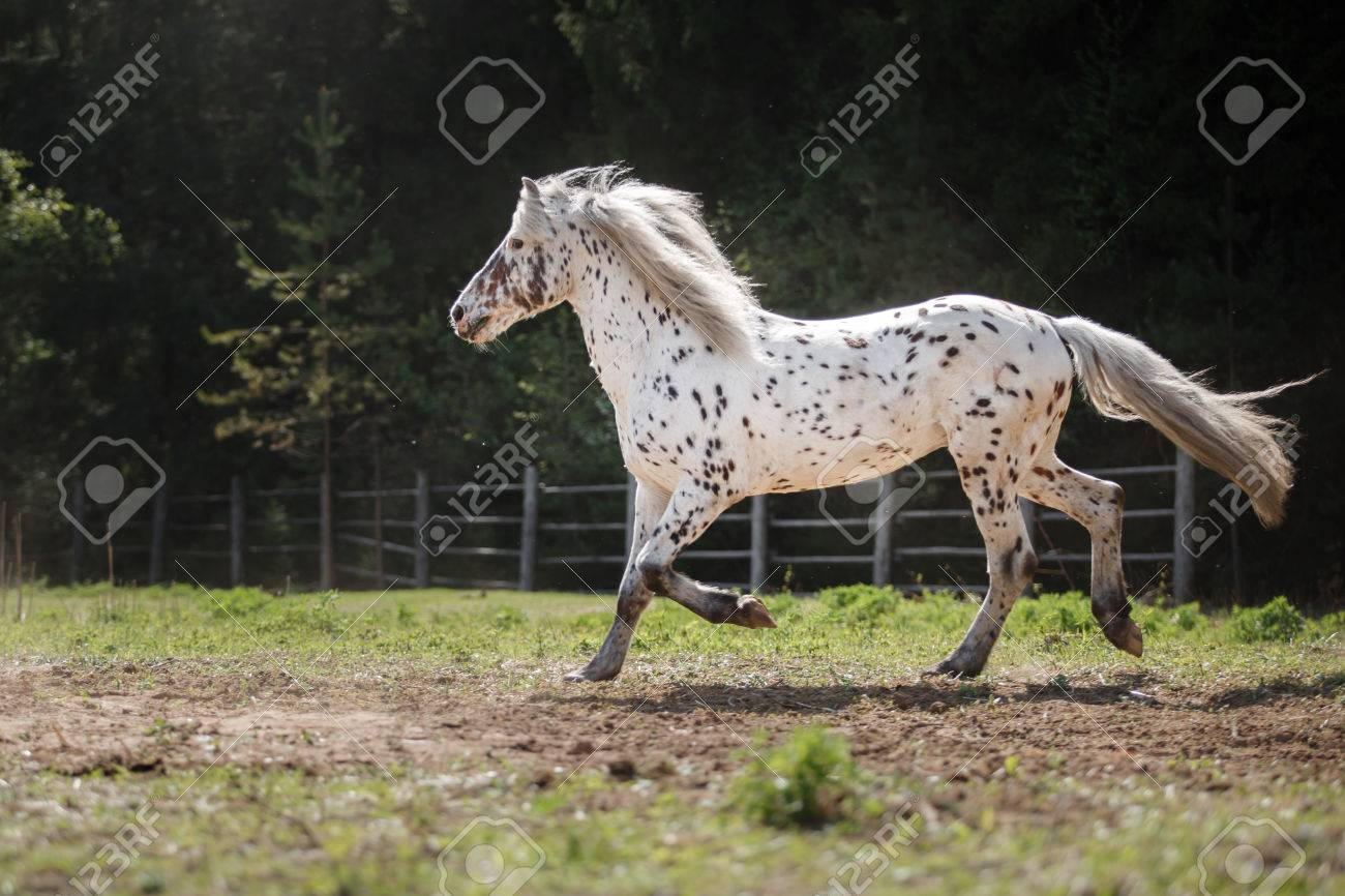 Knabstrup Appaloosa Horse Trotting In A Meadow Appaloosa Horse Stock Photo Picture And Royalty Free Image Image 57437021