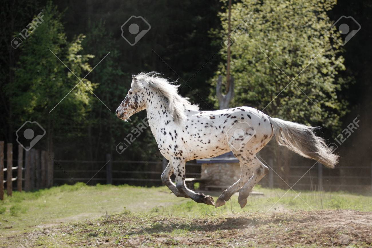 Knabstrup Appaloosa Horse Trotting In A Meadow Appaloosa Horse Stock Photo Picture And Royalty Free Image Image 57437022