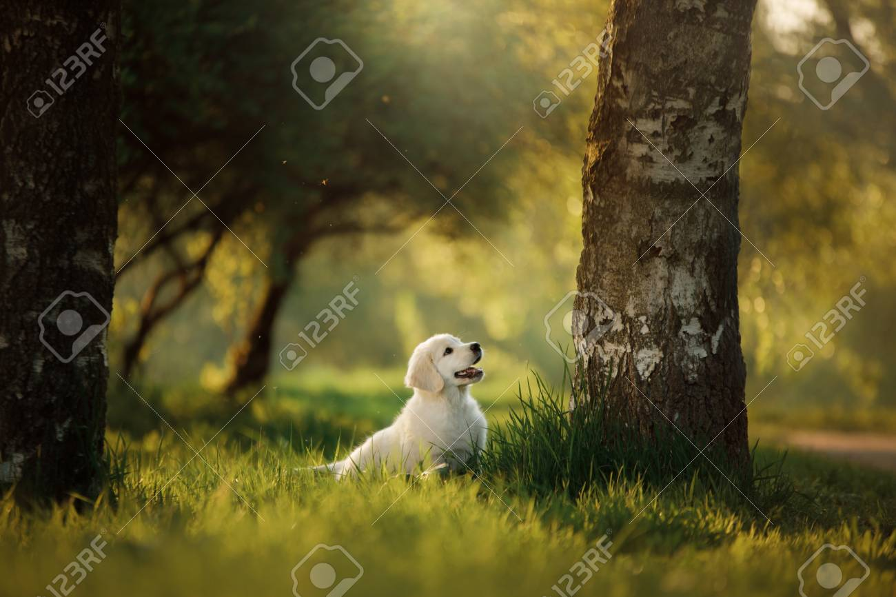 Golden Retriever Puppy Runs On Grass And Plays Pet In The Park