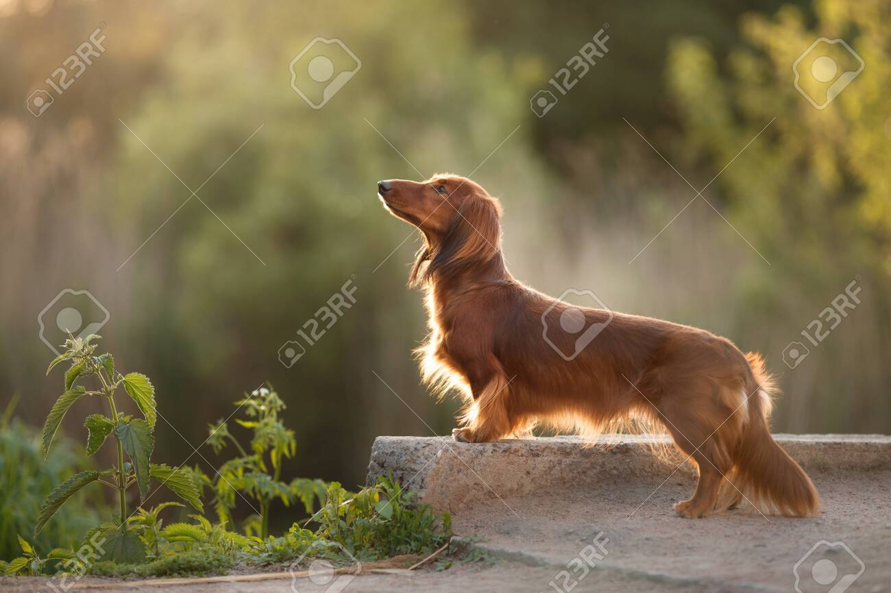 Dog On Nature In The Park Chocolate Dachshund Puppy Pet For Stock Photo Picture And Royalty Free Image Image 147042978