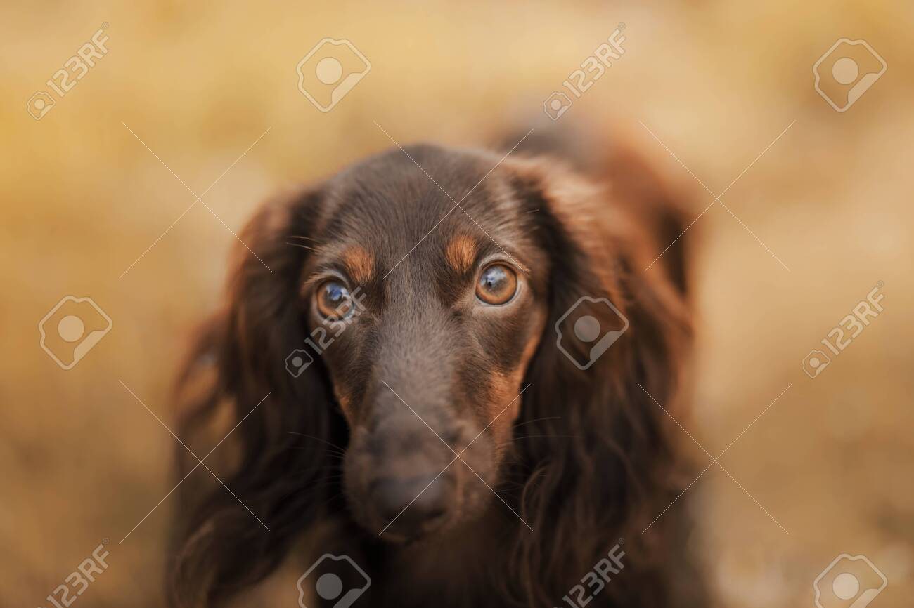 Dog On Nature In The Park Chocolate Dachshund Puppy Pet For Stock Photo Picture And Royalty Free Image Image 147042975