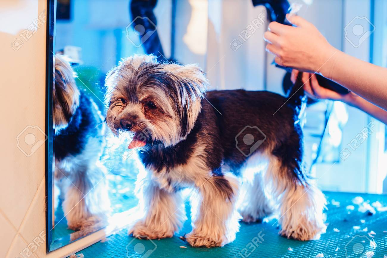 Female Groomer Haircut Yorkshire Terrier On The Table For Grooming