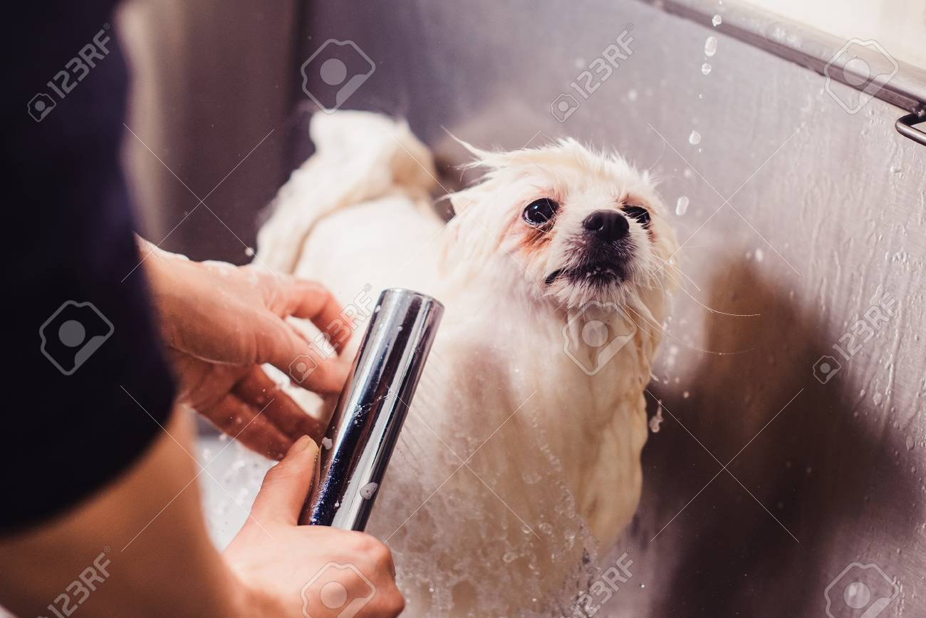 Pomeranian Dog In The Bathroom In The Beauty Salon For Dogs Stock