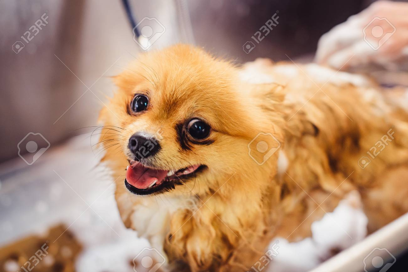 Pomeranian Dog With Red Hair Like A Fox In The Bathroom In The