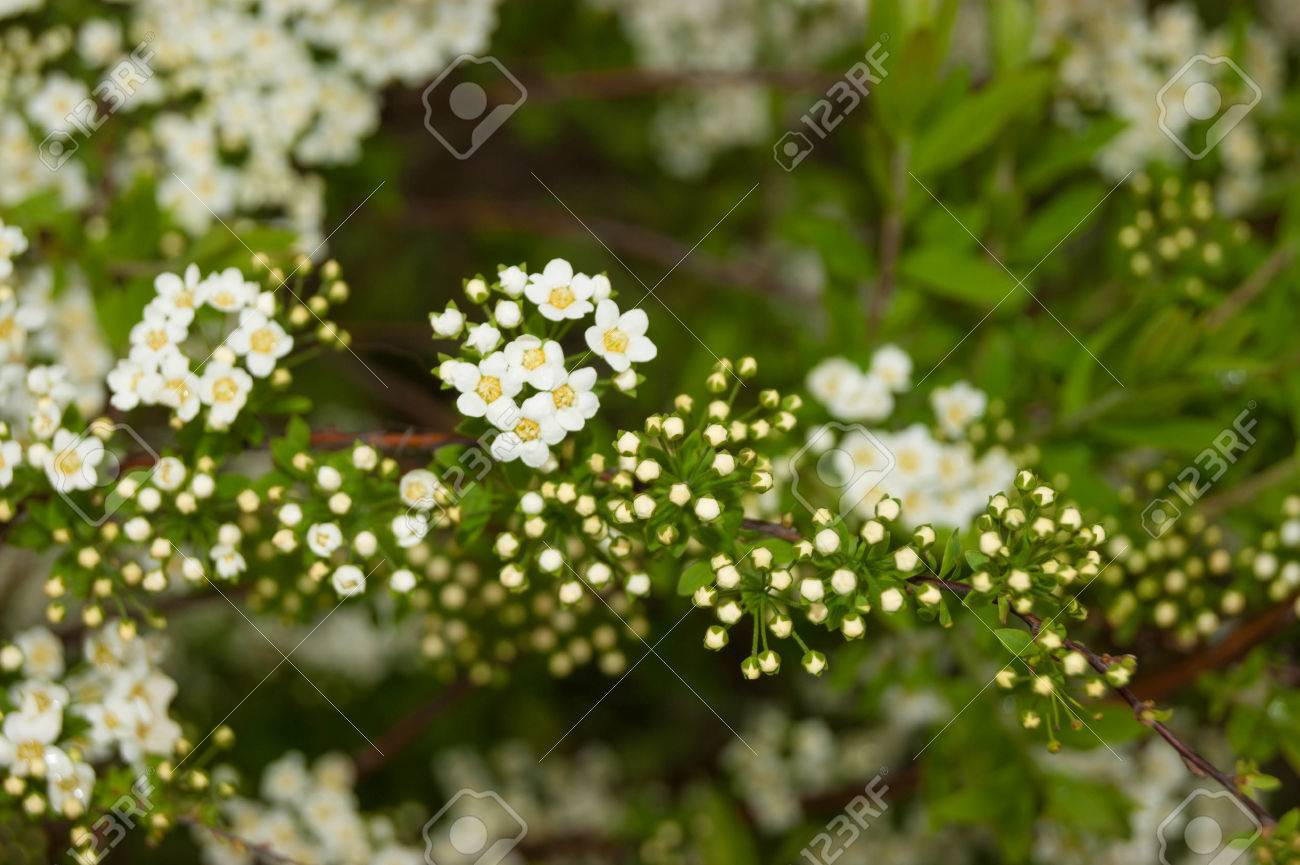 Blossoming spirea small white flowers on a bush outdoor close up small white flowers on a bush outdoor close up stock photo mightylinksfo