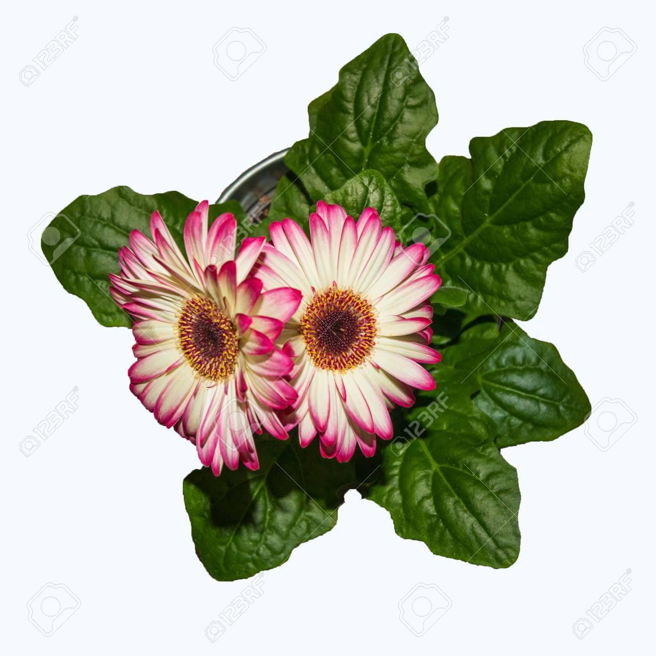 Deux Fleurs Gerbera Rose Dans Un Top Pot Vue Close Up Isole Sur Fond