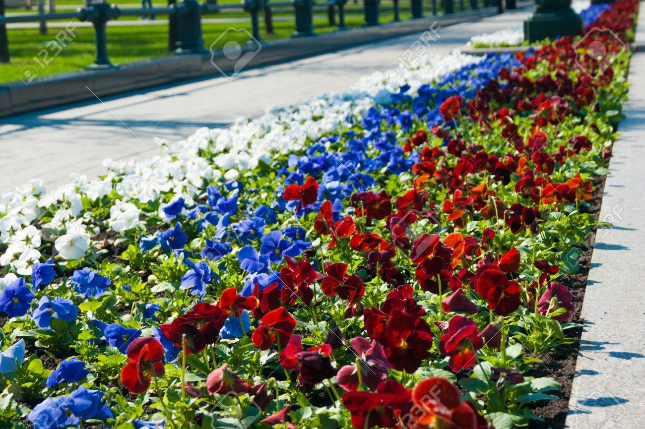 Pansies flowers in the flowerbed are white blue and red colors pansies flowers in the flowerbed are white blue and red colors like the russian izmirmasajfo