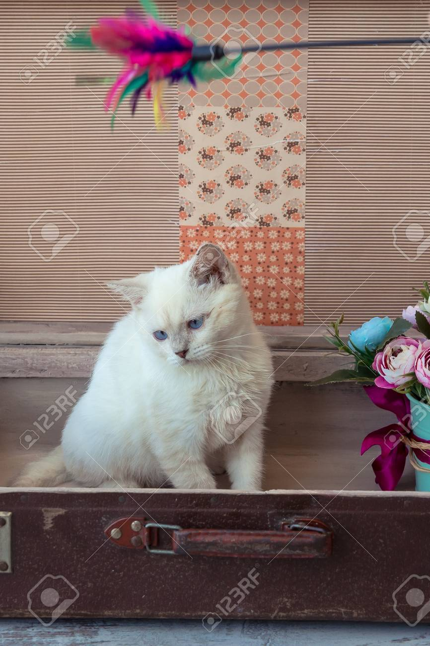 Kitten Of Scottish Straight Breed With Blue Eyes Sits Inside Vintage ...
