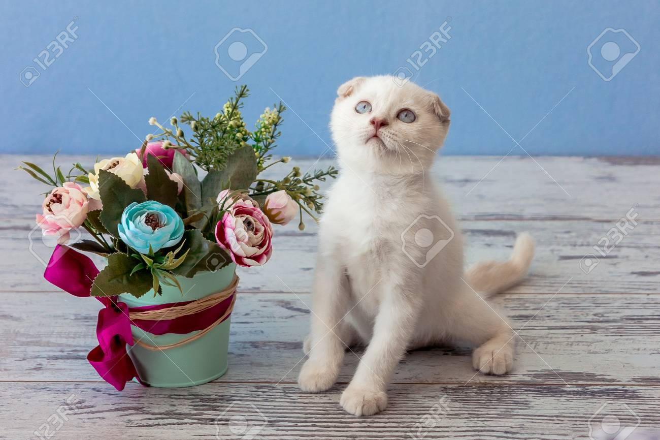 Kitten Of Scottish Fold Breed With Flower Bouquet On Blue Background ...