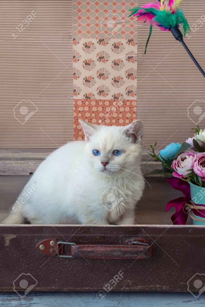 Kitten Of Scottish Straight Breed With Blue Eyes Sits Inside.. Stock ...