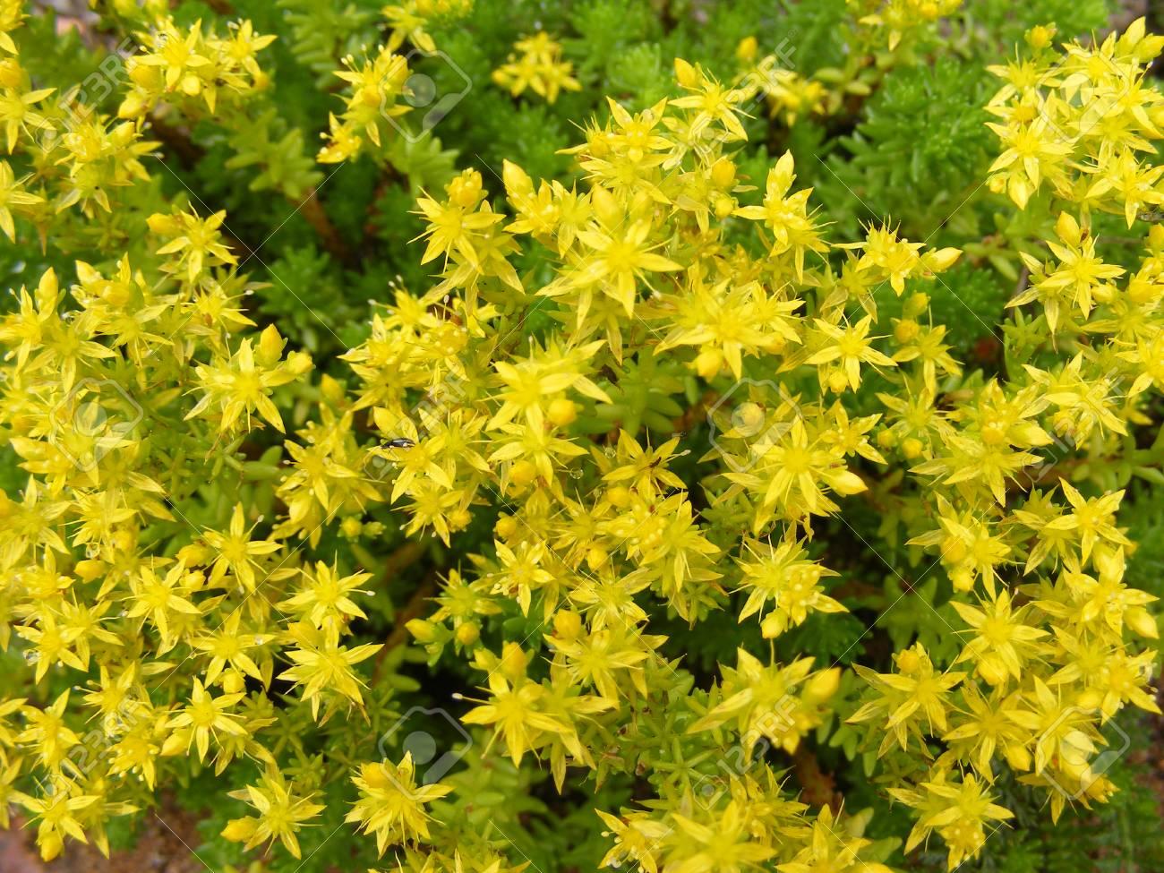 Yellow Flowering Sedum Acre Background Texture Stock Photo Picture