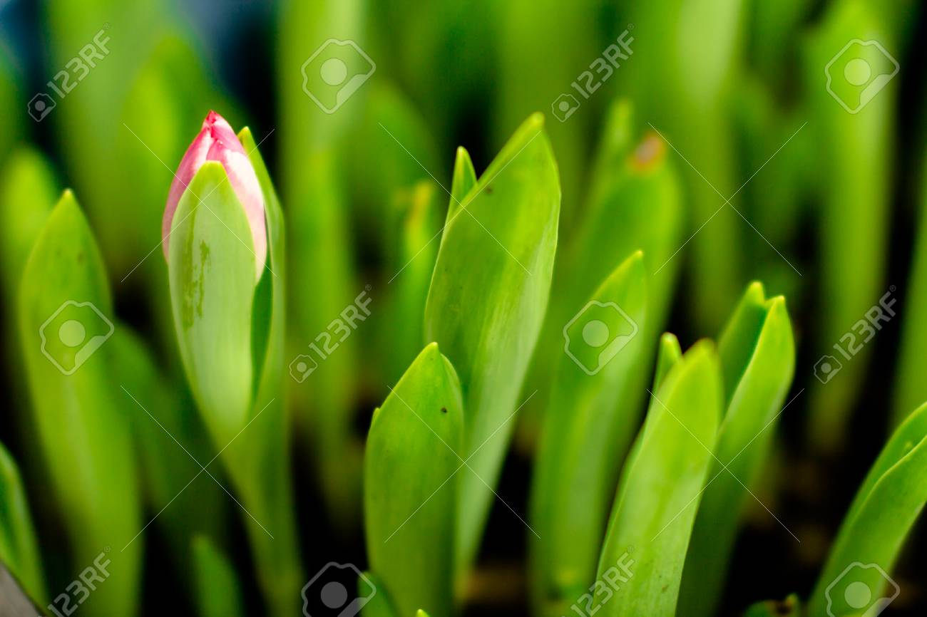 Beautiful Spring Flowers Tulips Buds Undiluted Bundles Of