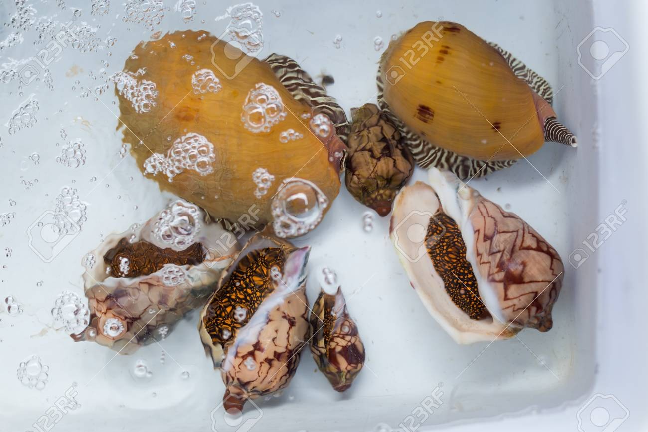 Thai alive giant sea snails in local port restaurant  Traditional