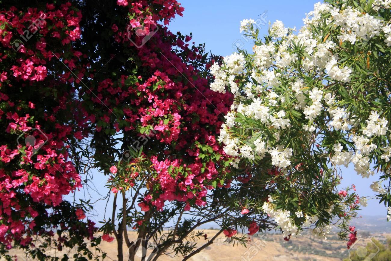 Flowering White And Pink Oleander Bushes Blossom Fragrant