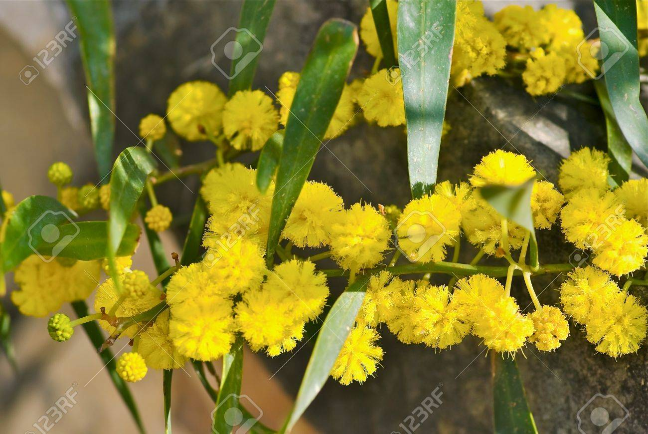 Twig Of Mimosa Tree With Yellow Flowers In Spring Stock Photo