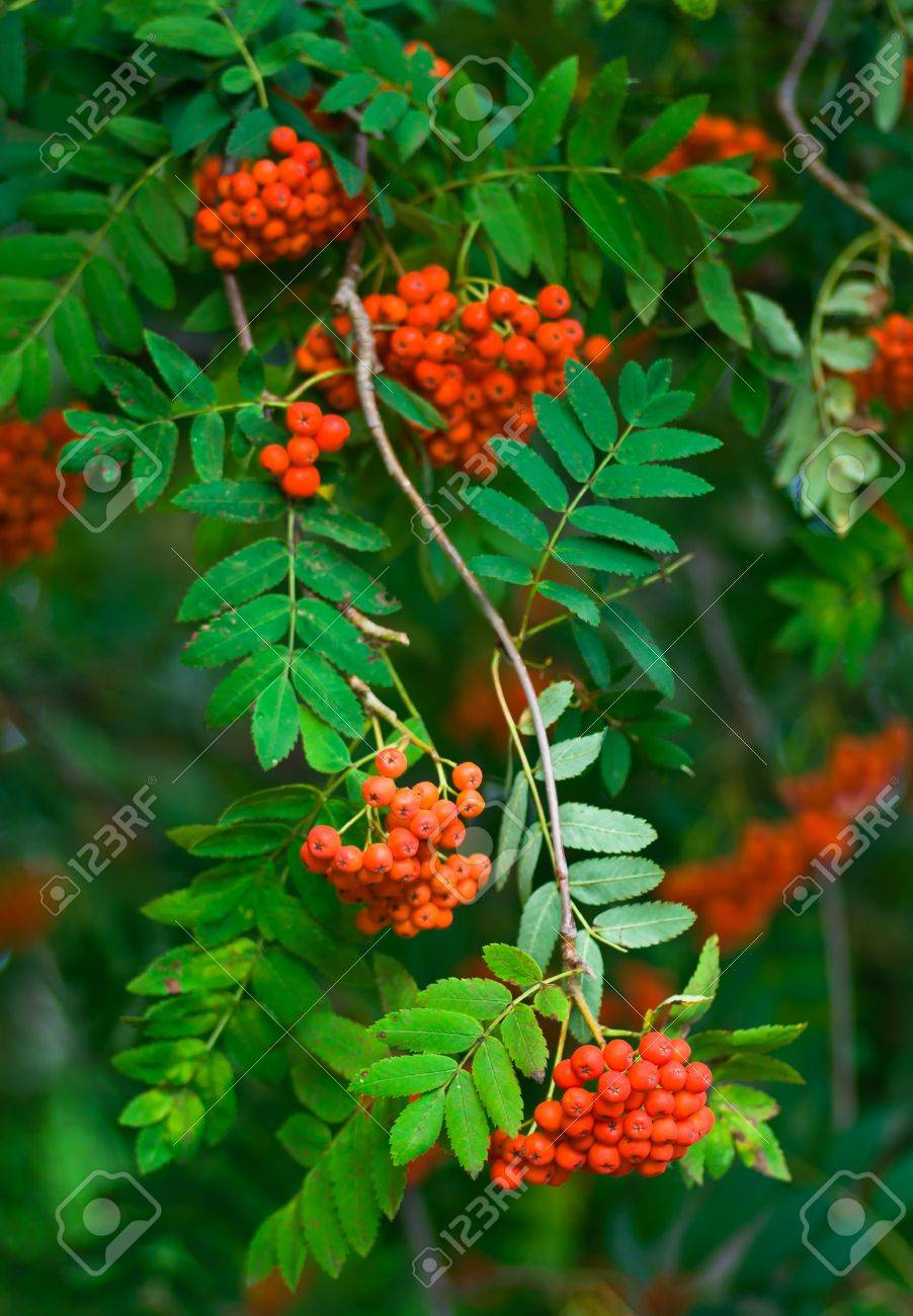 Rowan Tree With Leaves And Bunches Of Rowan Berries In Autumn Stock Photo Picture And Royalty Free Image Image 16127035 Hd wallpaper rowan berries fruit plant