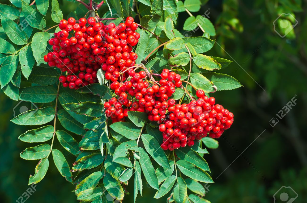 Rowan Tree With Leaves And Bunches Of Rowan Berries In Autumn Stock Photo Picture And Royalty Free Image Image 16127040 Hd wallpaper rowan berries fruit plant