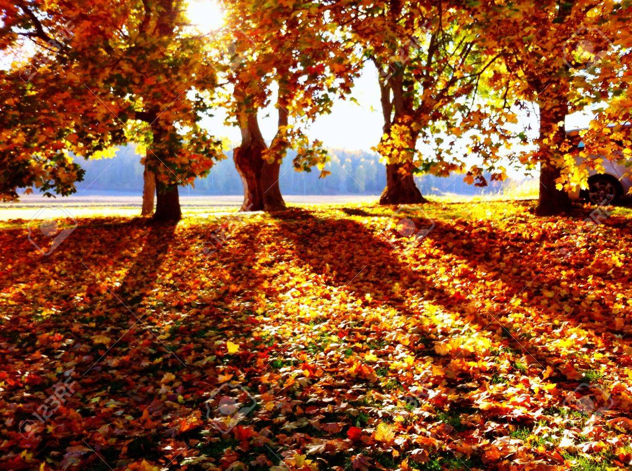 Fall Leaves And Shadow Pictures Of The Trees Stock Photo Picture