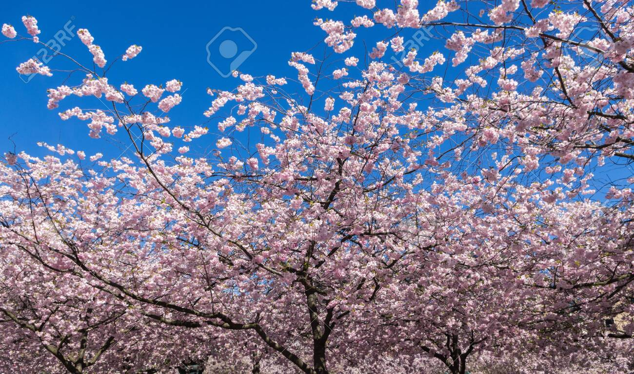 Blooming Japanese Cherry Trees With Flowers In Pink And White