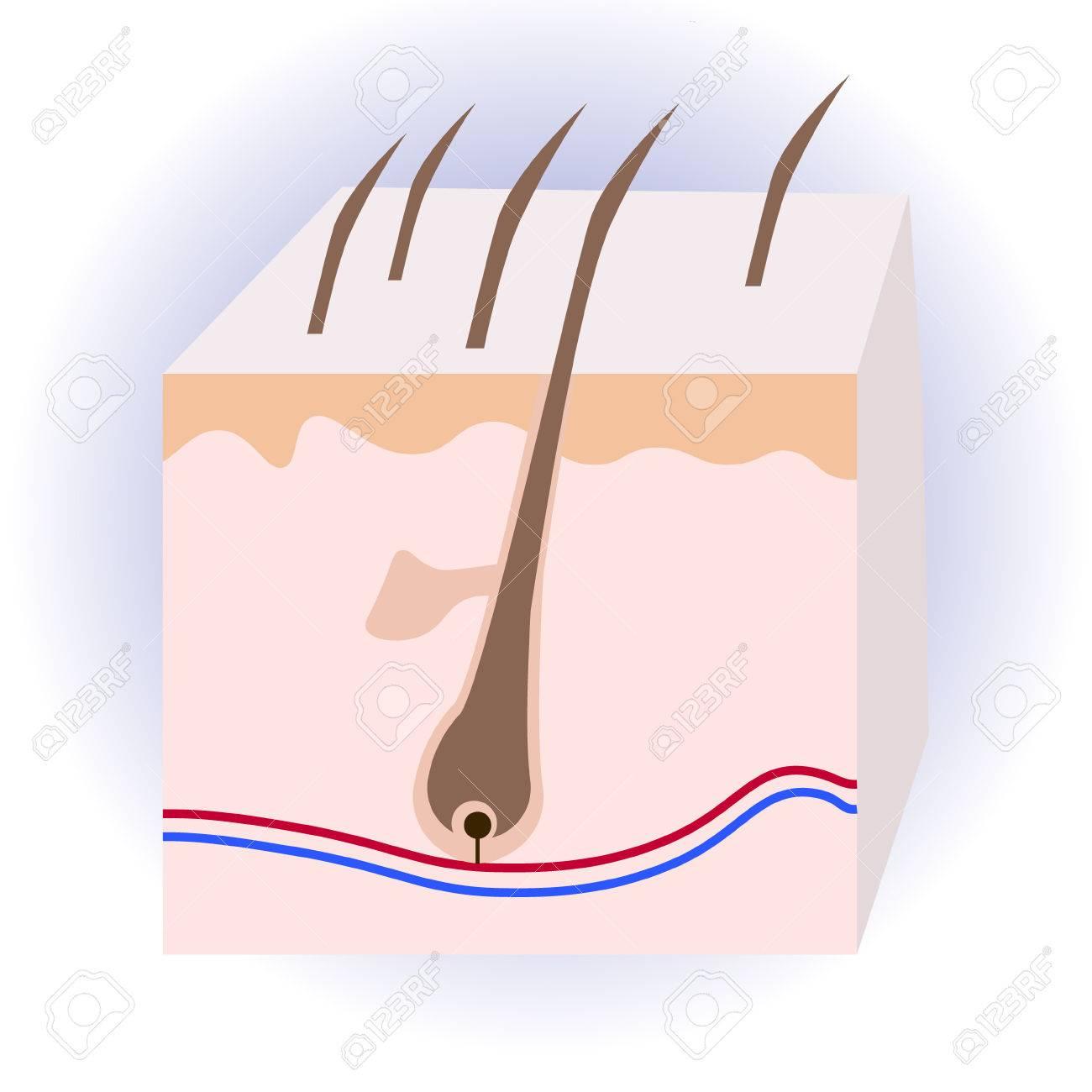Estructura Humana De La Piel Y El Cabello Signo Anatómico Cuidado De Belleza Aislado