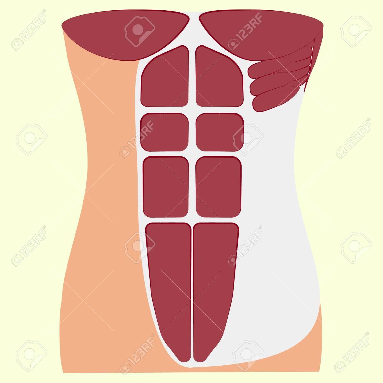 Músculo Pectoral Mayor, Músculos Del Tórax, Tórax, Pecho, Pecho ...