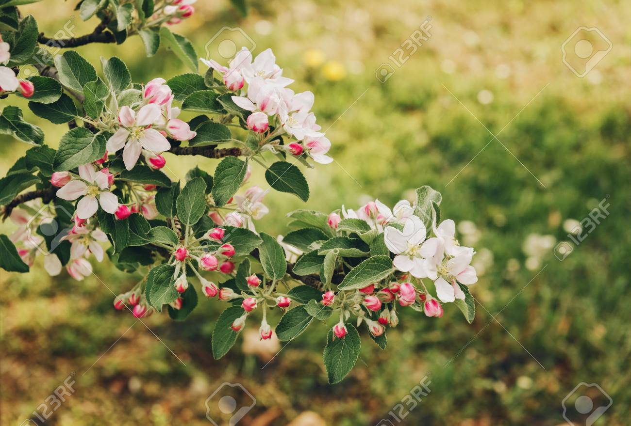 Blooming Apple Tree With Large White Flowersautiful Natural