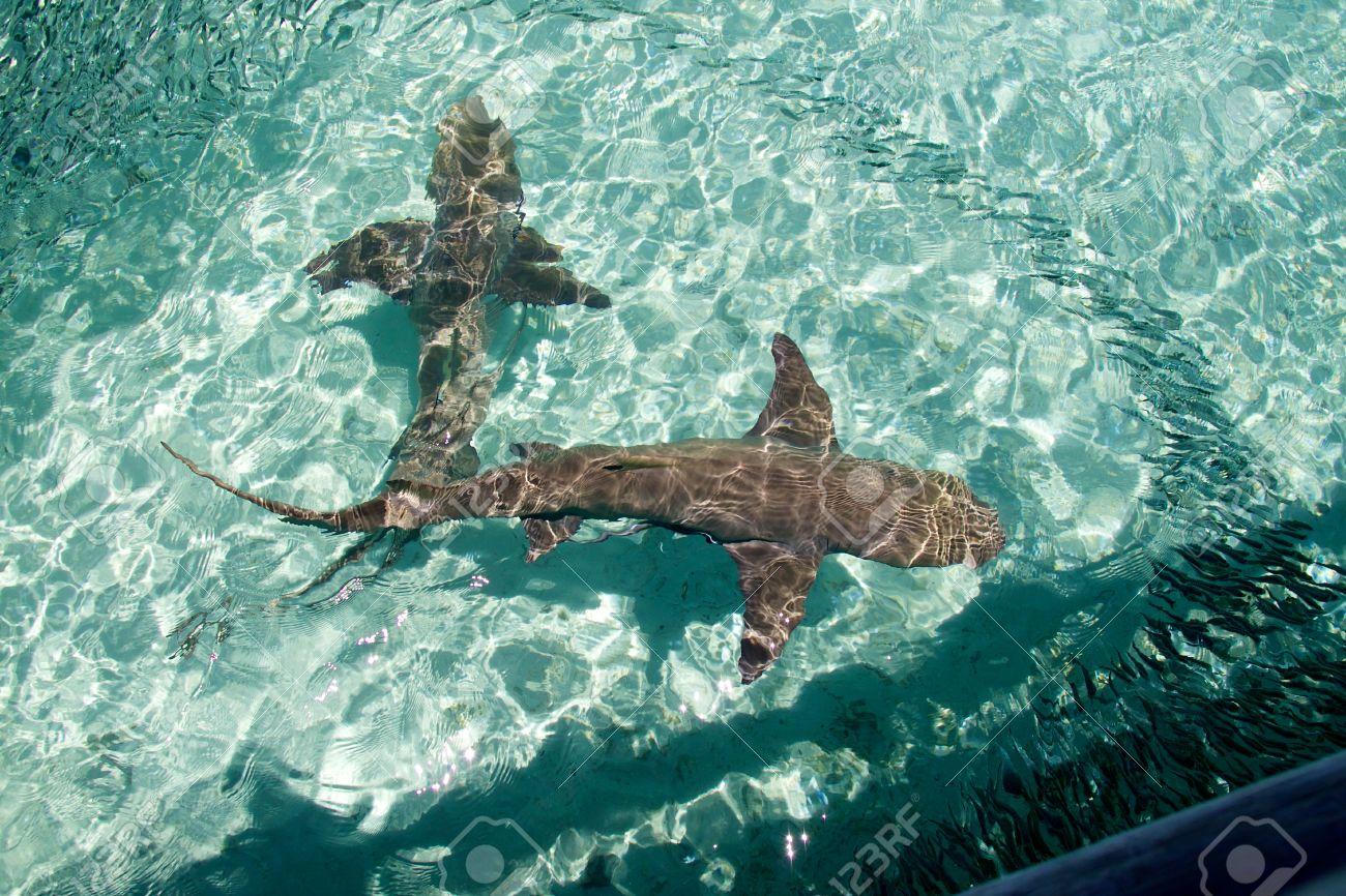 Heron Island requin