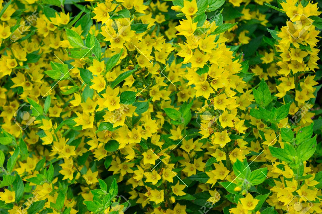 Small And Cute Yellow Flowers Stock Photo Picture And Royalty Free