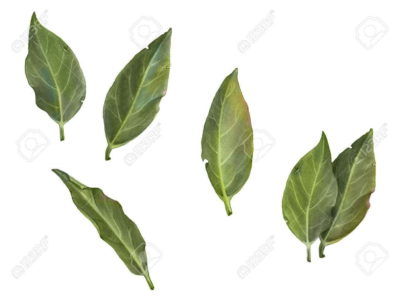 Bay leaves pencil drawing isolated on white stock photo 54507226