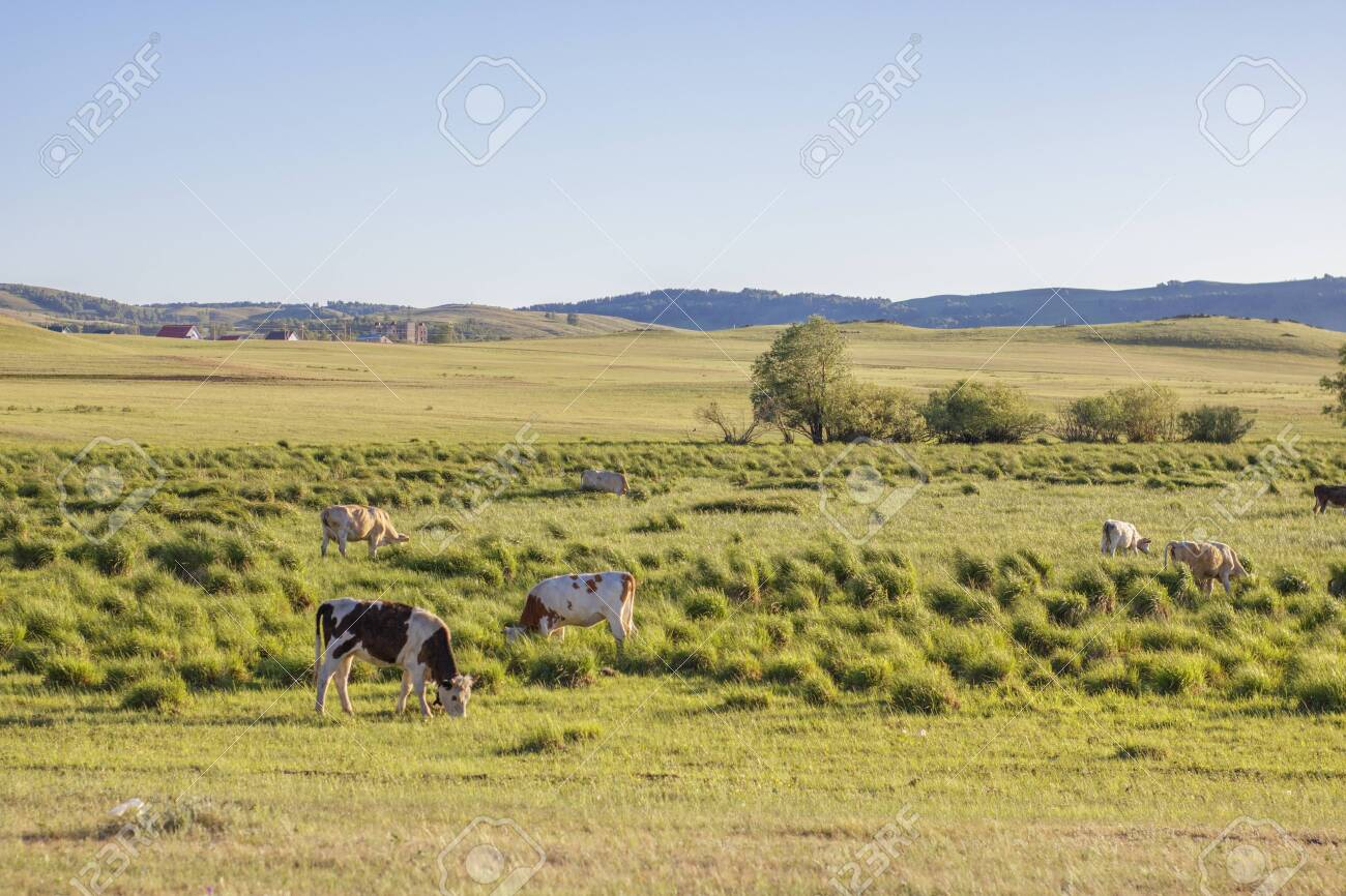 Pasture for cows. Green meadows and hills with meadow grass - 128255186