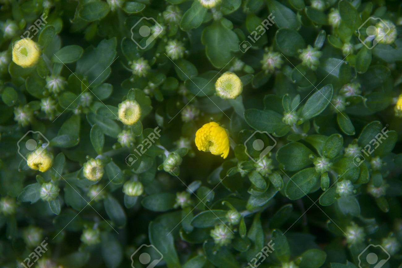 Small Yellow Flowers On A Thick Green Lawn Stock Photo Picture And
