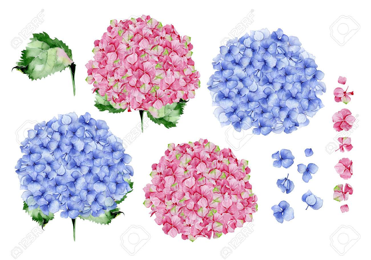 Blue And Pink Watercolor Hydrangea Floral Design. Used For Wedding ...