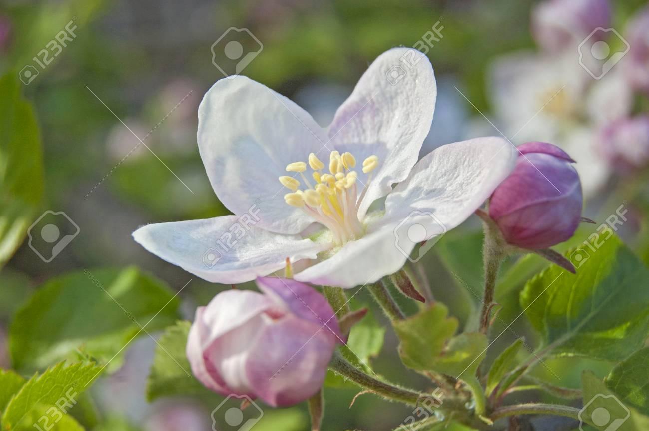 apple flower on garden background, green fresh leaves, springtime, landscape design - 104188513