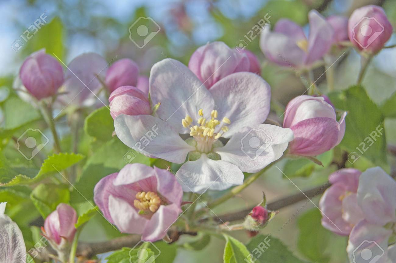 apple flower on garden background, green fresh leaves, springtime, landscape design - 104188516
