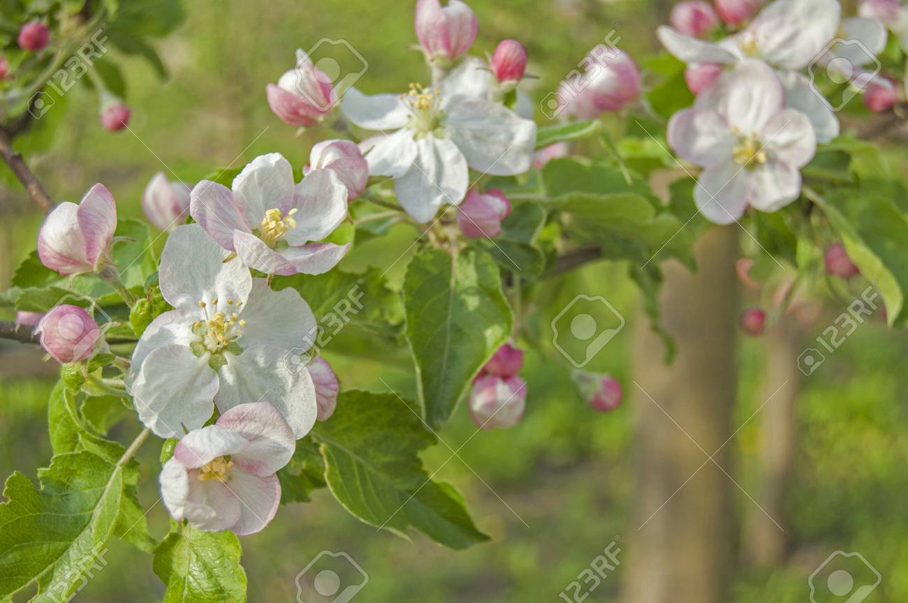 apple flower on garden background, green fresh leaves, springtime, landscape design - 104188521