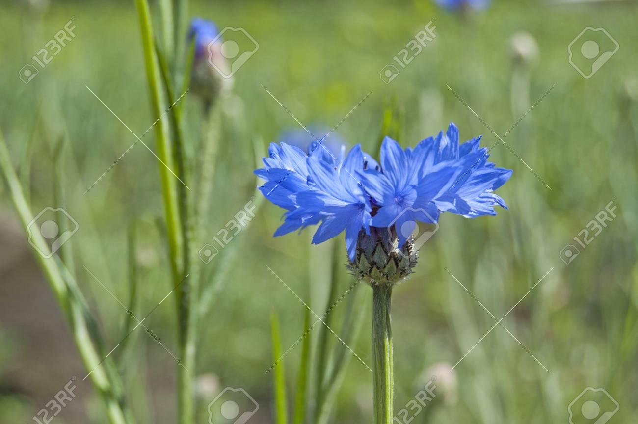 Cornflower in the field, springtime - 104304190