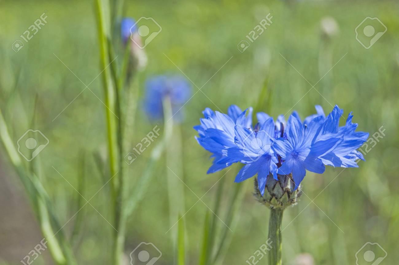 Cornflower in the field, springtime - 104304198