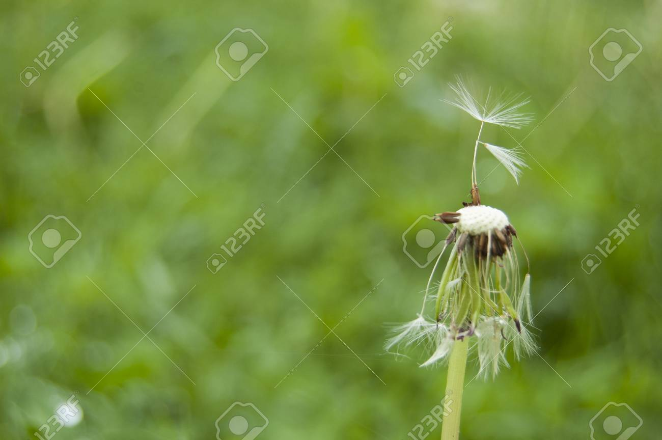 Green fresh plants with dandelions finished blooming on a wooden background - 105753574
