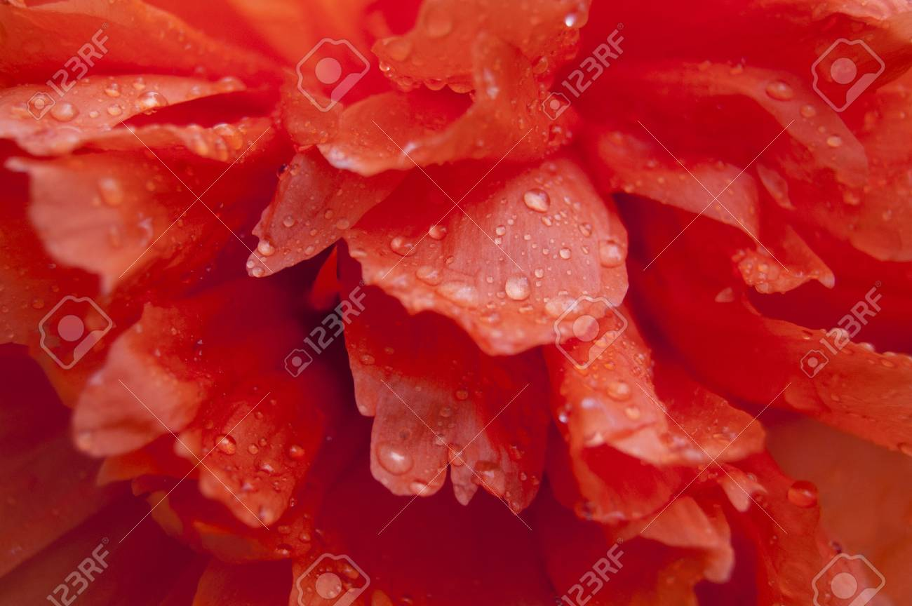 Red poppy in drops of dew in garden. Flower washed with dew - 106264069