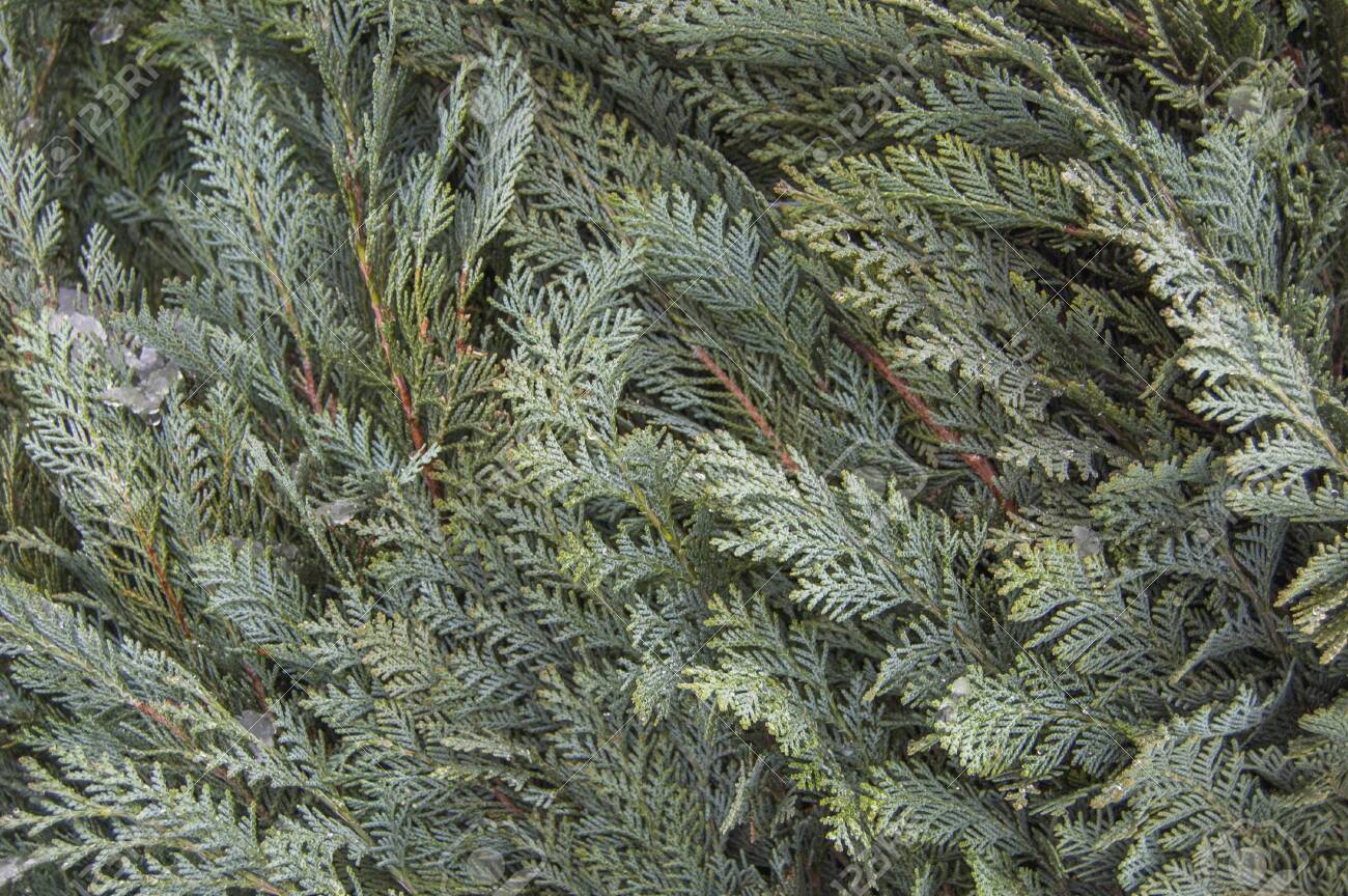 Green organic ornament. Thuja, cedar branch and leaves, nature background in snow, - 132672803