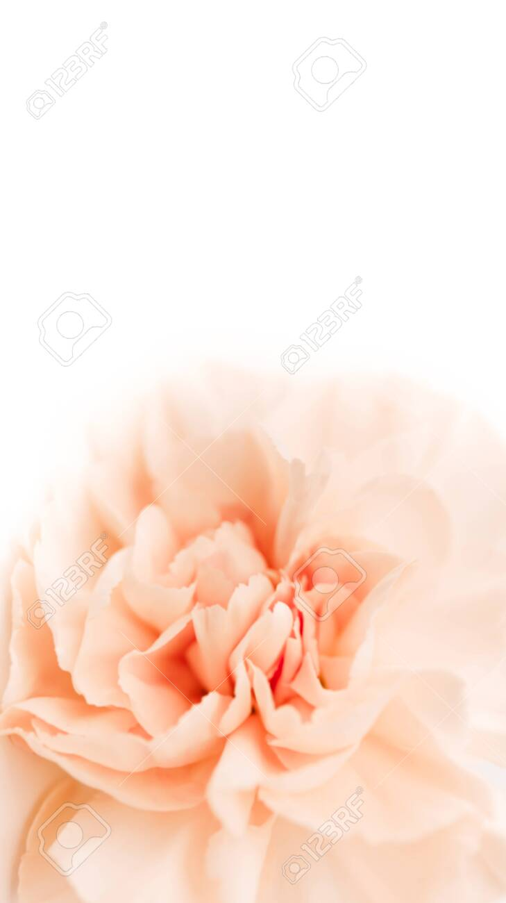large peony bud or clove on a white background as a blank for advertising text - 139020939