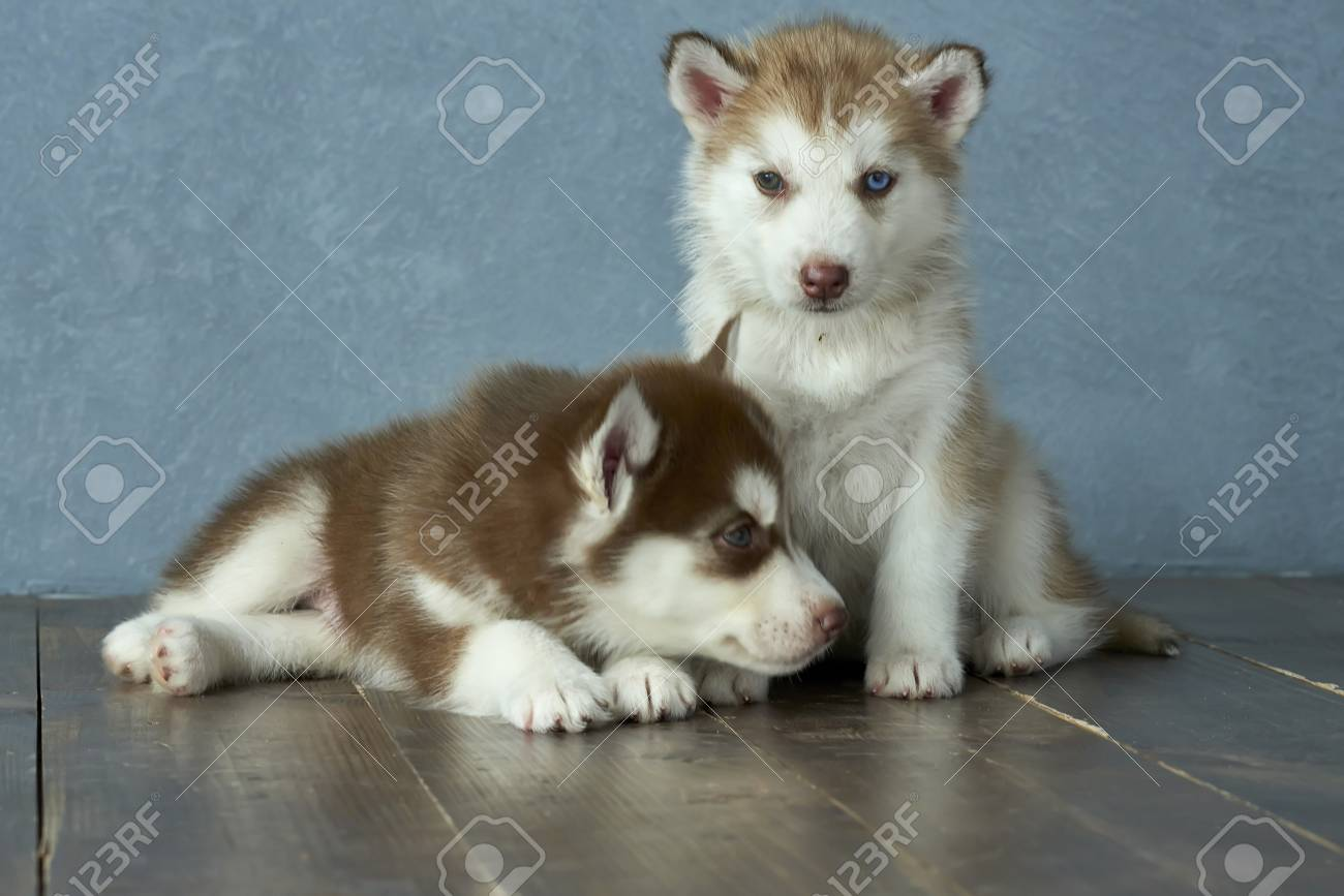 Two Blue Eyed Copper And Light Red Husky Puppies On A Wooden Stock