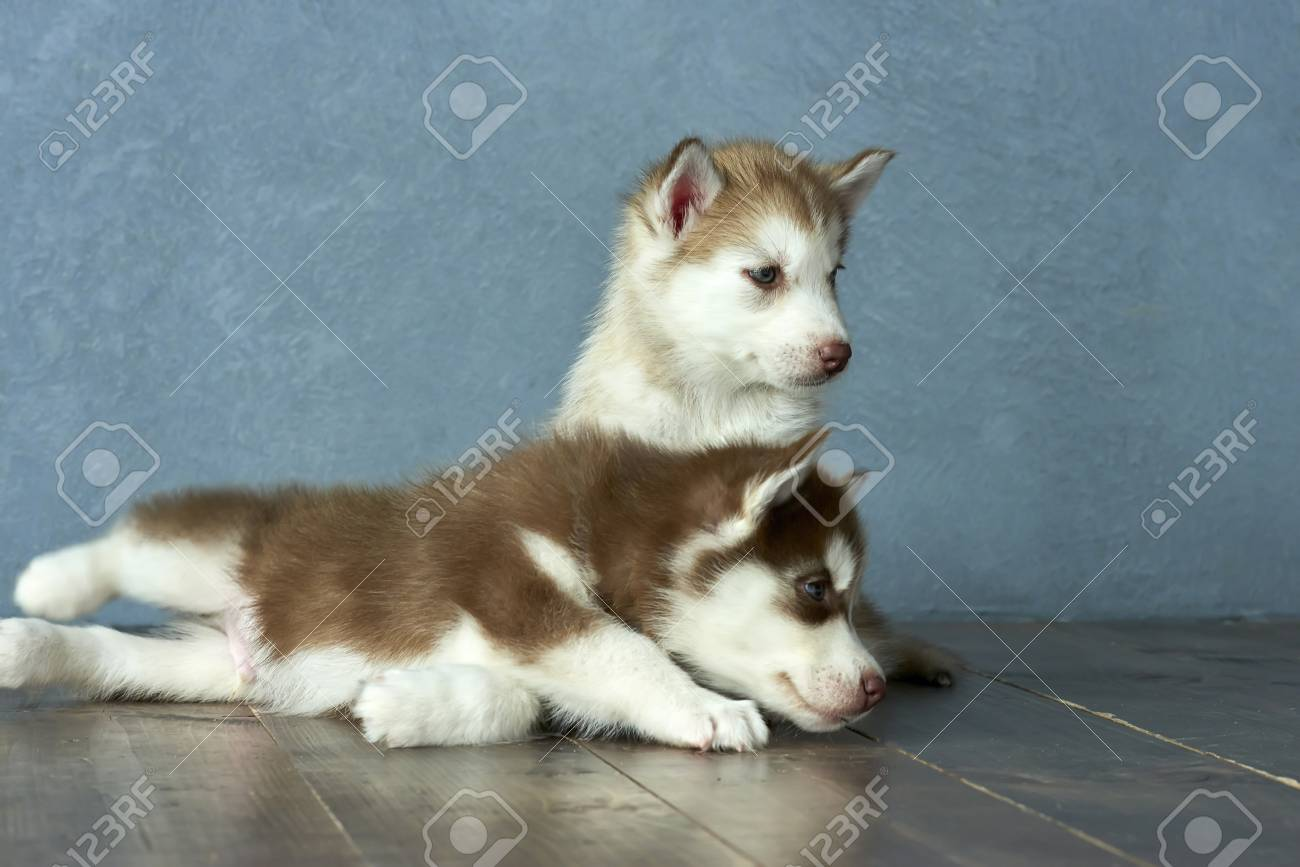 Two Blue Eyed Copper And Light Red Husky Puppies On A Wooden Stock Photo Picture And Royalty Free Image Image 86146838