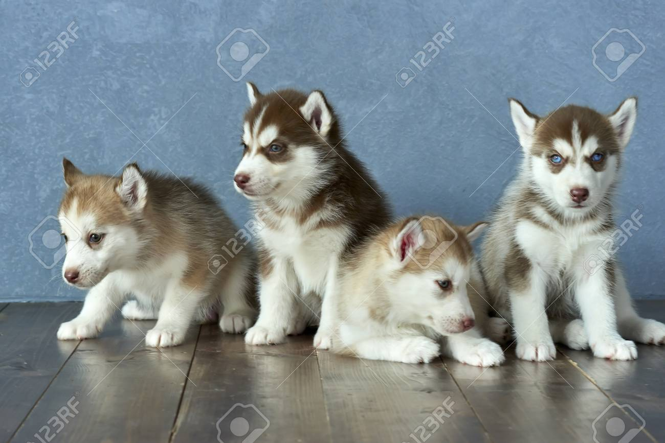 Four Blue Eyed Copper And Light Red Husky Puppies On A Wooden