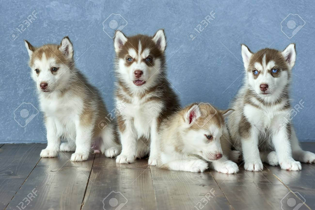 Four Blue Eyed Copper And Light Red Husky Puppies On A Wooden Stock Photo Picture And Royalty Free Image Image 86146846
