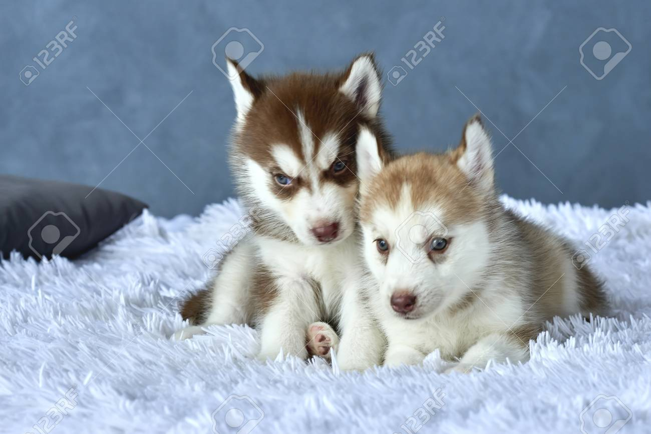 Two Blue Eyed Copper And Light Red Husky Puppies Lying On White