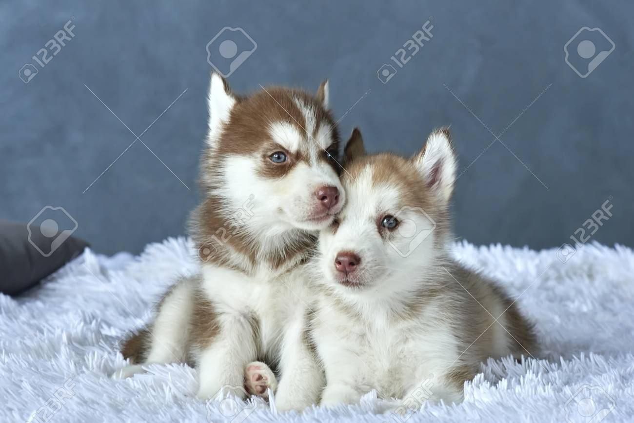 Two blue-eyed copper and light red husky puppies lying on white