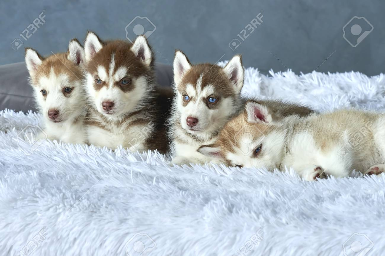 Four Blue Eyed Copper And Light Red Husky Puppies Lying On White Stock Photo Picture And Royalty Free Image Image 86146853