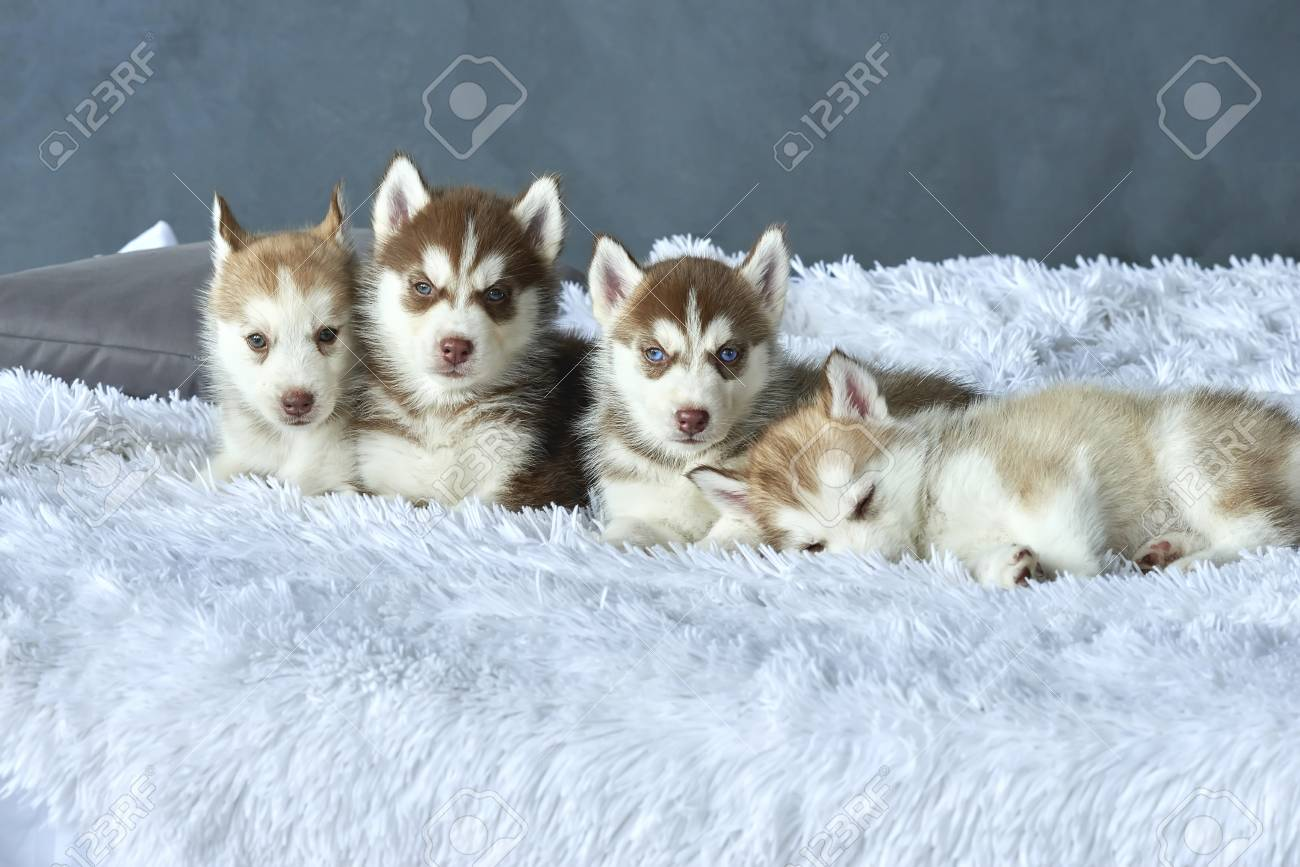 Four Blue Eyed Copper And Light Red Husky Puppies Lying On White